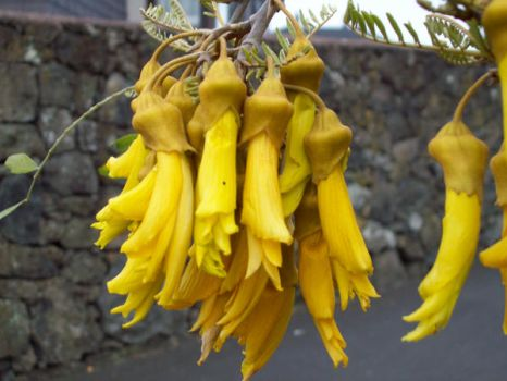 More Kowhai by Applemac12