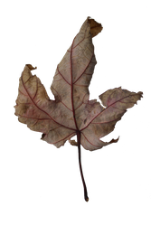 Leaf PNG Stock 7 by BeccaB-323-STOCK