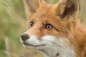 Red fox closeup by PurpleShallots