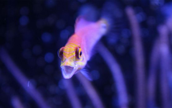 Mystery Wrasse by ReticentRapture
