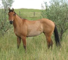 Dun AQHA Filly 4 by escapist1901