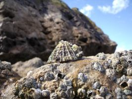 Limpet and Barnacles by Grumzz
