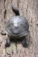 00305 - Turtle from Behind by emstock