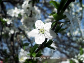 Springtime blossom by Imperfection22