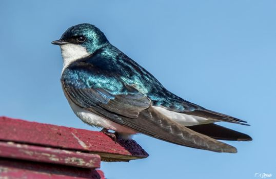 Tree swallow 9 by Nini1965