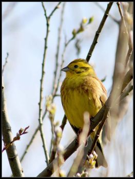 Yellowhammer by davidbridges