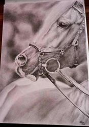 Arabian horse Drawing by xClarXCheex