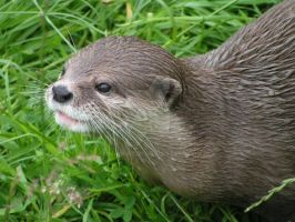 Curious otter by o0Magrat0o