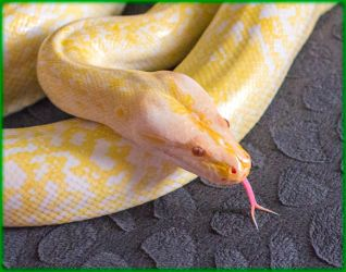 Viola the Granite Burmese Python - wallpaper by ByLagarto