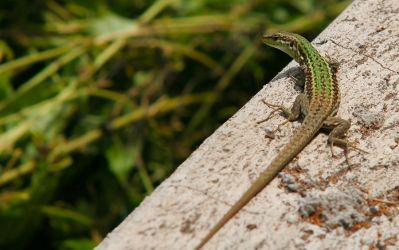 Another Sicilian Wall Lizard by AngeloMichel