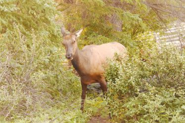 Elk Standing In the Bushes, Staring by Miss-Tbones