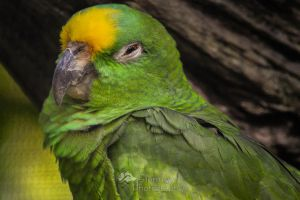 Sleepy Yellow-crowned parrot by StormyyWolf
