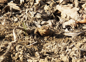 Frog by SweetNatalii