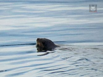 Otter In The Water by wolfwings1
