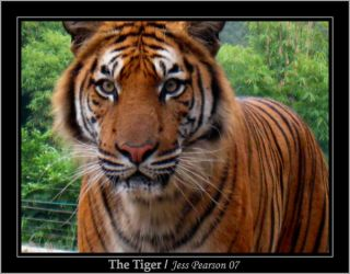 The Tiger by Jeshi-Weshi