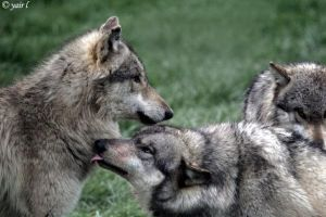 A wolf kissing up by Yair-Leibovich