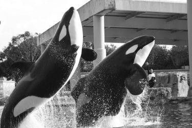 Killer Whales by deadly-sinful