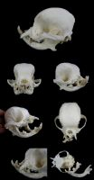 Pug Skull by CabinetCuriosities
