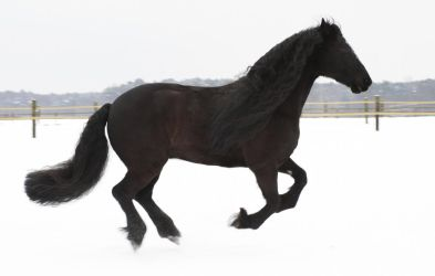 friesian gelding  galloping in the snow by Nexu4