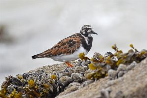 8408 Ruddy Turnstone by RealMantis