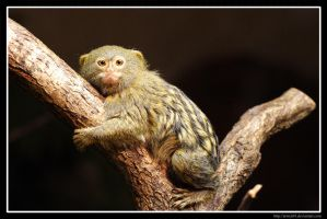 Pygmy marmoset by Arwen91