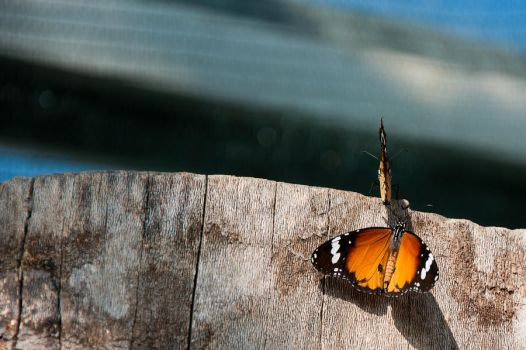 Two butterflies by Alyo