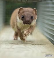 Stoat run by jaffa-tamarin