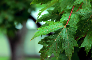 Rain Drops on Green Leaves by clausch99