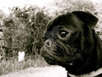 Ralphie the Pug by dapplejuice