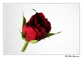 Floating Rose by quanitz