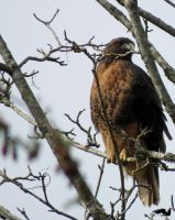 Hawk In A Tree by wolfwings1
