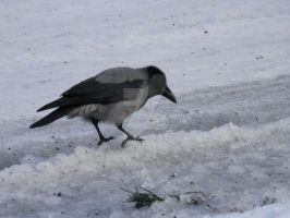 Hooded Crow 1 (5/5) by SoulFullOfSadness