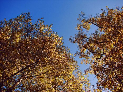 Birch at Midday, Late Sept. by typhlosion
