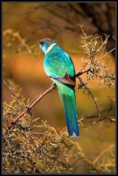 Mallee Ringneck by seaworthy
