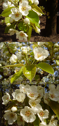 Pear flowers by sup-photo