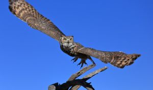 Great Horned OWL 9109 by Mammoth-Hunter