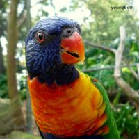 Rainbow Lorikeet by youngbeth