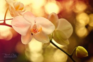 .:Orchid Dream V:. by RHCheng