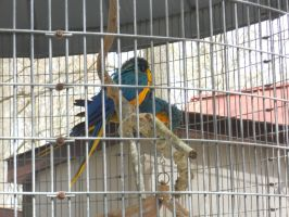 Golden and Blue Macaws by convict123