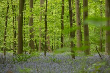 Blue Forest Hallerbos 012 by ISOStock