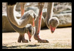 Pecking Order by acutely