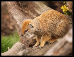 Yellow Mongoose by pdutogepi