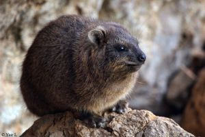 Rock Hyrax by Yair-Leibovich