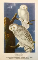 Audubon's Birds - Snowy Owl by Yesterdays-Paper