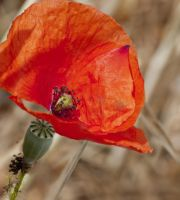 Corn poppy by bulgphoto