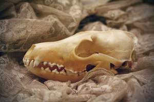 red fox skull iii by romancer