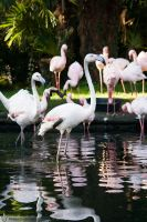 Pink flamingos, Amneville zoo by BKcore
