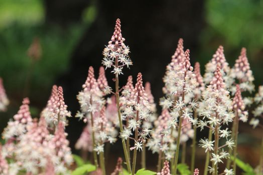 coolwort or foam flower (Tiarella cordifolia) by minamiko