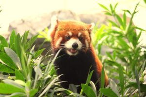 Red panda (2) by Dathew