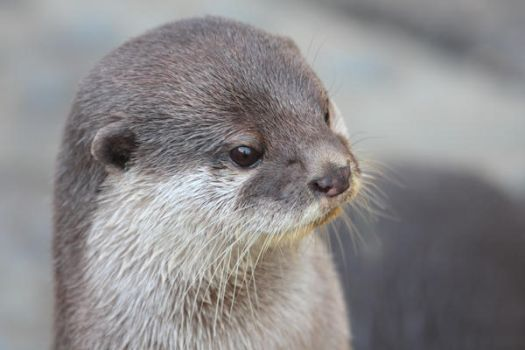 Otter Portrait by cycoze
